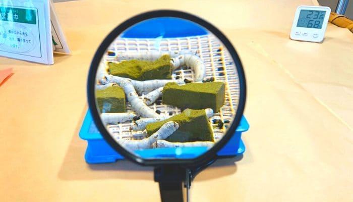 富岡製糸場の蚕